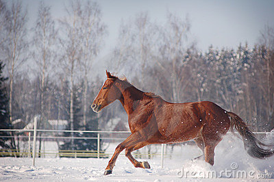Galloping chestnut horse