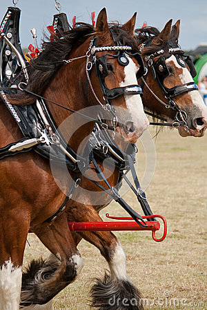 Galloping Clydesdales