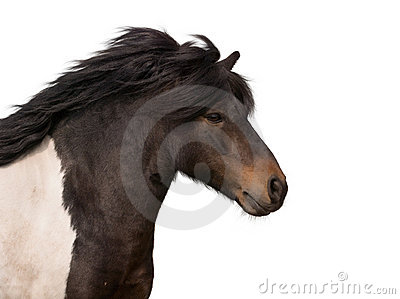 Galloping pony stallion isolated on white