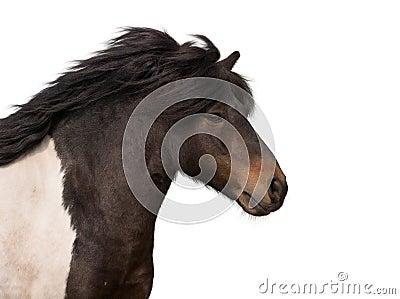 Galloping pony stallion isolated on white