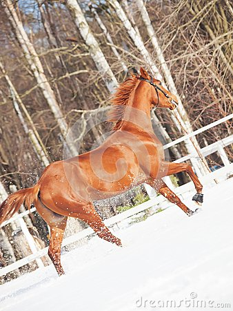 Galloping sorrel horse in snow paddock