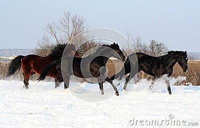 Galloping stallions