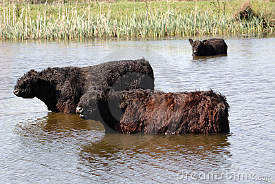 Galloway cattle in lake