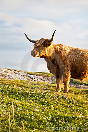 Galloway cow with horns