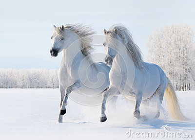 Galop de deux chevaux blancs sur la zone de neige