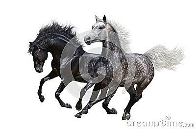 Galop de deux chevaux sur le fond blanc