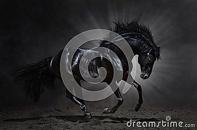 Galope andaluzes pretos do garanhão