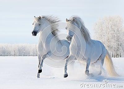 Galope de dois cavalos brancos no campo de neve