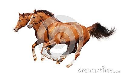 Galope de dos caballos del alazán
