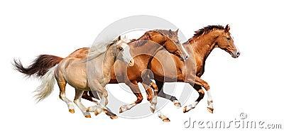 Galope de três cavalos do sorrel - isolado no branco
