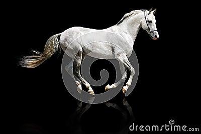 Galope Prata-branco do garanhão