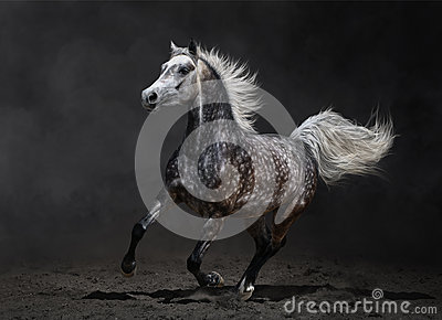 Galope árabes cinzentos da égua