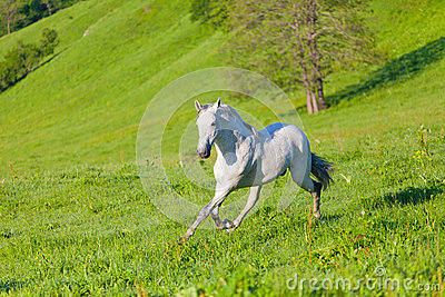 Galopes del caballo de Gray Arab