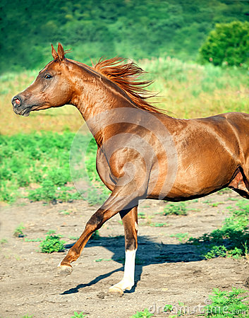 Galoping chestnut arabian stallion at freedom