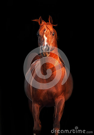 Galoping chestnut arabian stallion isolated