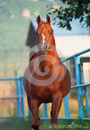 Galoping chestnut arabian stallion