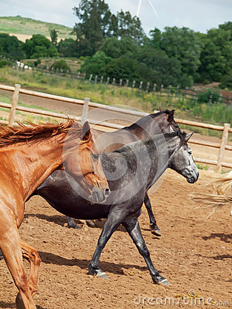 Galoping  spanish horses herd. Andalusia. Spain