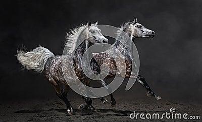 Galopp för två grå arabisk hästar på mörk bakgrund