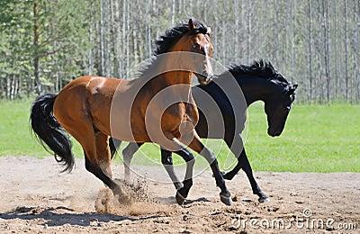 Galopp mit zwei Stallions auf manege