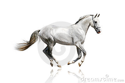 Galoppare Argento-bianco dello stallion