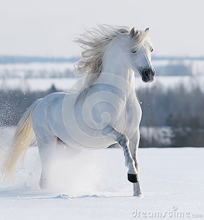Galoppare bianco dello stallion