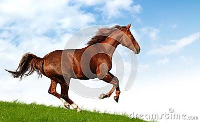 Galopperar hästen