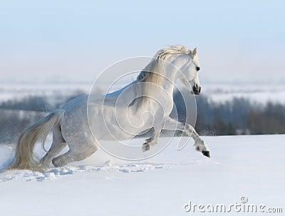 Galopperend wit paard