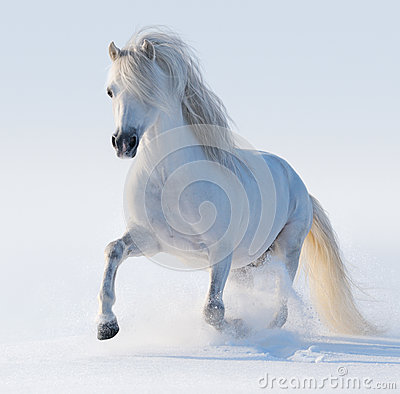 Galopperende witte Welse poney