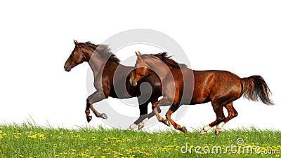 Galoppo dei cavalli