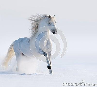 Galopujący biały koń