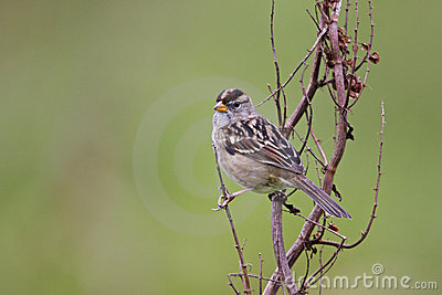 Gambel s White-crowned Sparrow