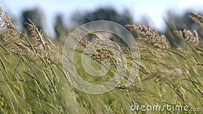 Gambi di erba asciutta in un campo al tramonto archivi video