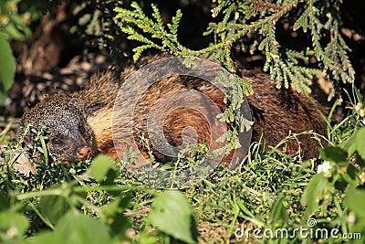 Gambian mongoose