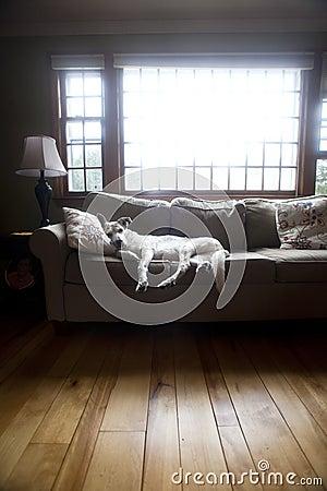 Gammal hund på vardagsrumsoffan