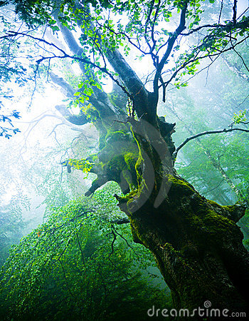 Gammal tree