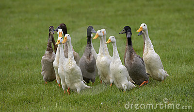 Flock of domestic ducks