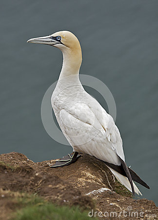Free Gannet Royalty Free Stock Photography - 25702077