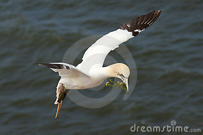 A gannet above the sea