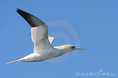 Gannet Bird Flying in Flight
