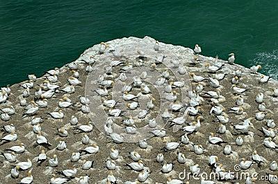 Gannet Colony Murawai