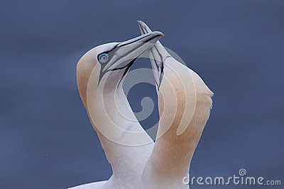 Gannet couple greeting each other