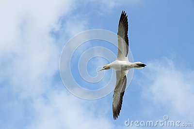 Gannet flying over head