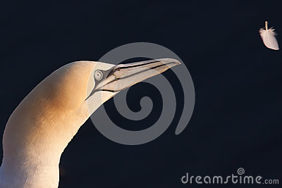 Gannet looking at feather