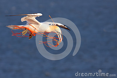 A gannet with an orange rope
