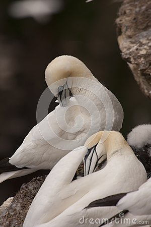 Gannet at Troup Head