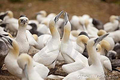 The Gannets Cermony of Seduction