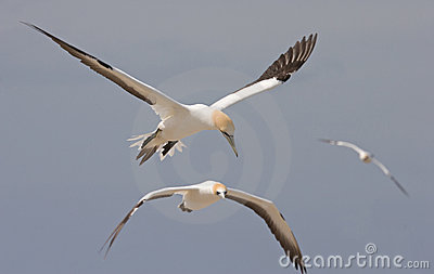 Gannets in flight