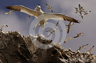 Gannets Flying Above