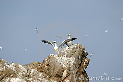 Gannets upon a rock in Bretagne (France)