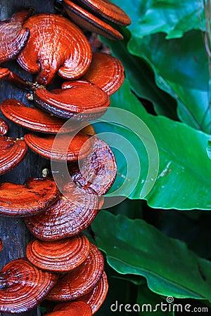 Free Ganoderma Lucidum Mushroom Stock Images - 42003684